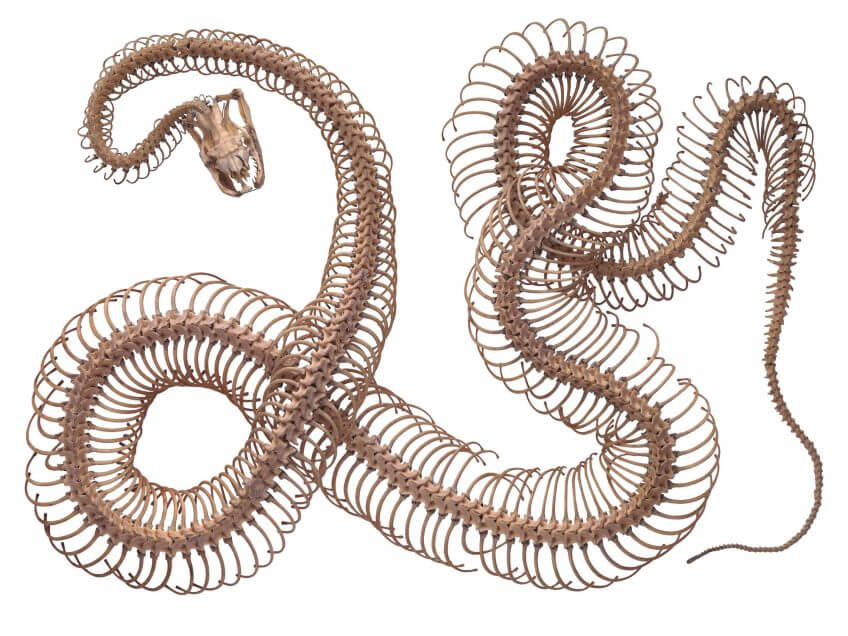 Anatomie de la couleuvre à collier - La Salamandre squelette