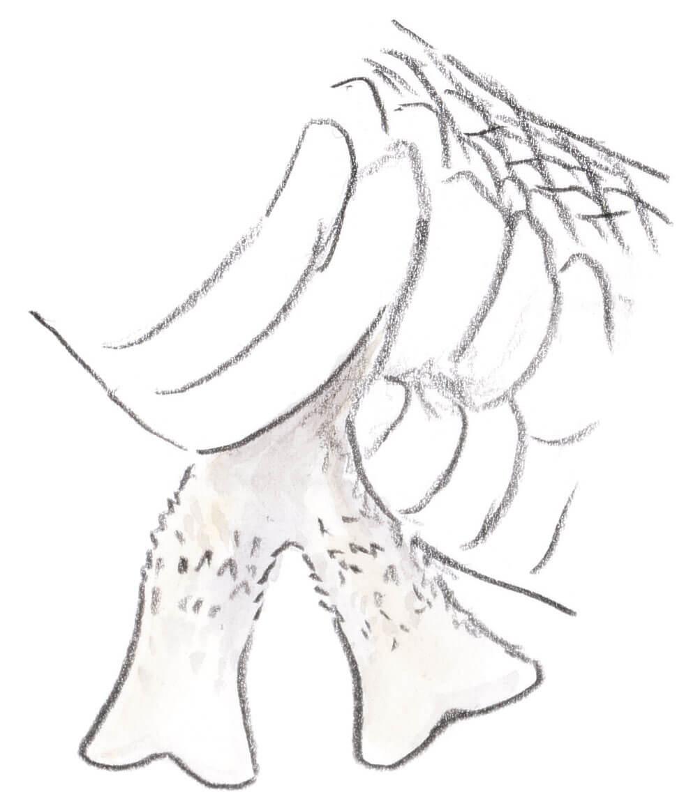 Club de rencontres pour couleuvre ? - La Salamandre hémipénis anatomie serpent
