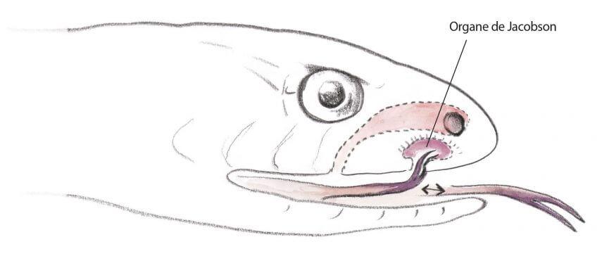 La couleuvre à collier, côté appétit - La Salamandre dessin
