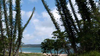 Les pins colonnaires sont originaires de Nouvelle-Calédonie.