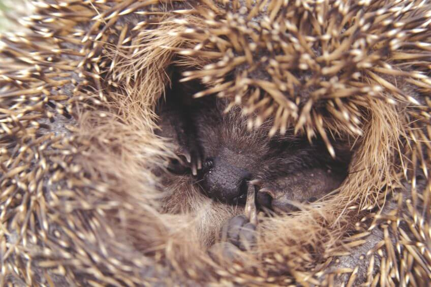 La délicate hibernation du hérisson - La Salamandre