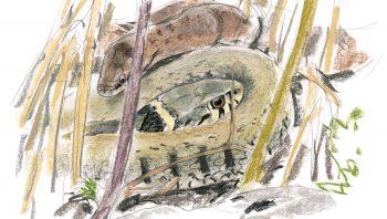 Une couleuvre à collier et une  coronelle lisse (autre couleuvre inoffensive) prennent un bain de soleil. Pratique nécessaire après l'hivernage pour que leur métabolisme retrouve une activité normale.