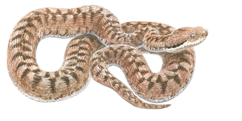 D senclaver les couleuvres la salamandre - Dessin de vipere ...
