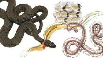 Zoom sur l'anatomie de la couleuvre à collier