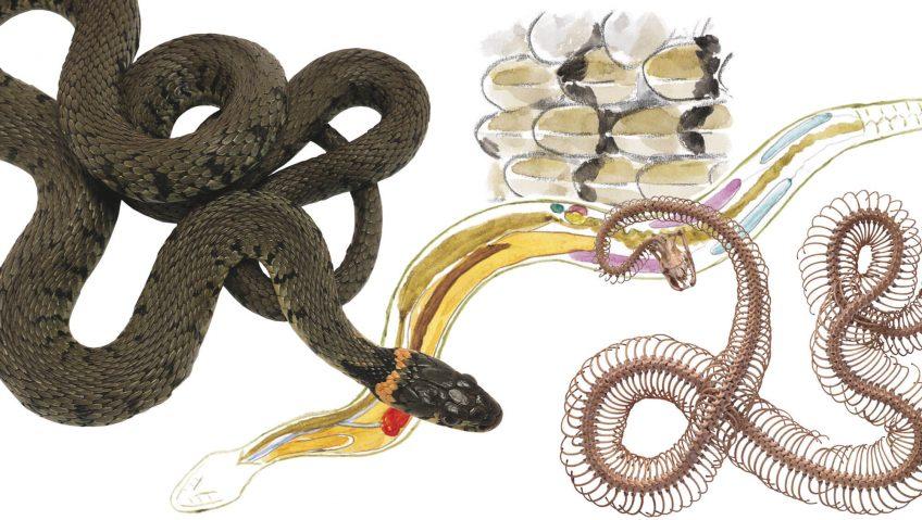 Anatomie de la couleuvre à collier - La Salamandre