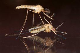 1 - La femelle Culex pipiens s'accouple une seule fois. On reconnaît le mâle non piqueur à ses antennes plumeuses. / © Gilbert Hayoz