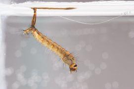 4 - La larve respire l'air avec un siphon anal. Elle se nourrit en filtrant les particules en suspension. / © Gilbert Hayoz