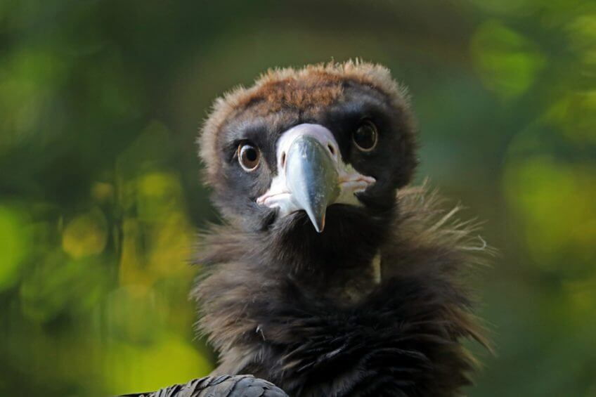 Le vautour moine est de retour - La Salamandre