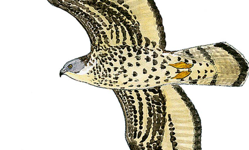 Départ imminent pour la bondrée apivore - La Salamandre