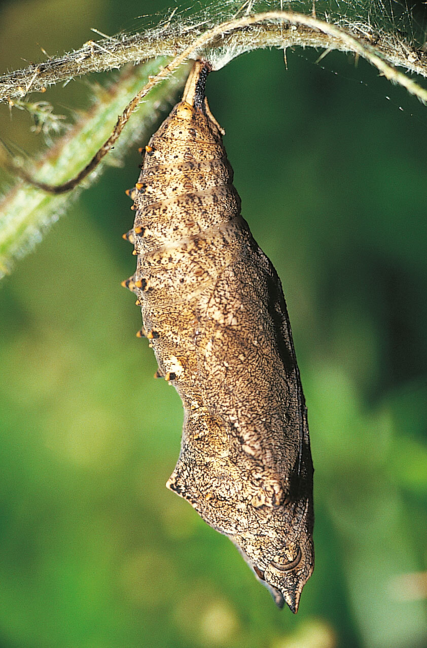 Papillons et compagnie chez l'ortie - La Salamandre
