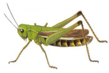 Observer des criquets dans son gazon - La Salamandre
