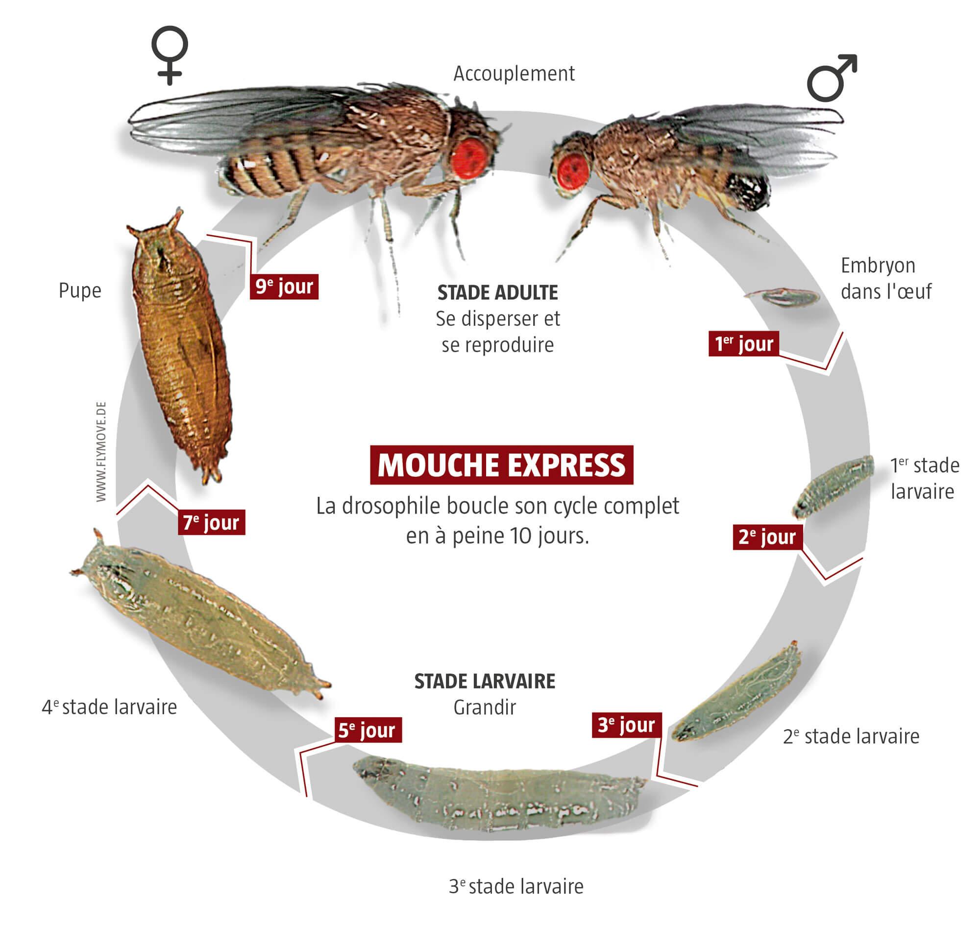 Mouche, star des laboratoires - La Salamandre
