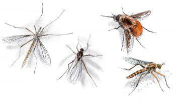 Qui sont ces diptères qui ressemblent à tout sauf à des mouches ?
