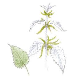 L'ortie, les vertus d'une alliée - La Salamandre