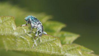Le charançon de l'ortie doit sa parure verte à de minuscules écailles. Certains individus en sont dépouillés et paraissent noirs.