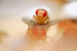 Le mâle produit avec ses ailes un chant à basse fréquence pour stimuler sa partenaire. Pendant l'accouplement, il bourdonne plus aigu. / © Solvin Zankl