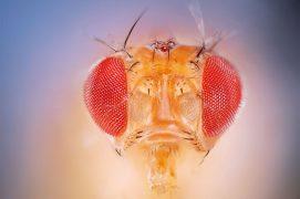 Les 13000 gènes de Drosophila melanogaster sont répartis sur quatre paires de chromosomes certainement les plus étudiés au monde. / © Solvin Zankl
