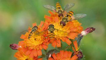 Les mouches sont indispensables aux grands équilibres du vivant.