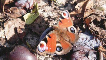 L'ortie nourrit les chenilles de plusieurs papillons, dont l'oeil de paon.