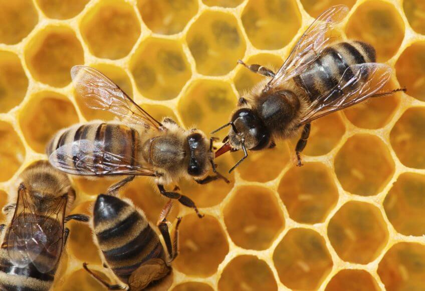 Abeilles dans une riche qui transforment le pollen en nectar.