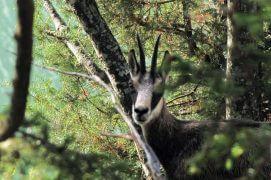 Rencontre fortuite avec un chamois dans la forêt surplombant le lac / © Sofia Matos