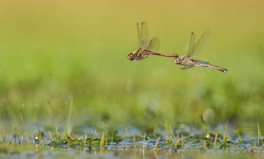 Dernier bal avant l'automne pour les libellules - La Salamandre