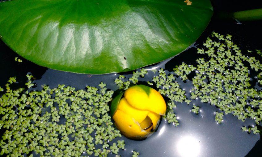 Nénuphar nain, alerte jaune - La Salamandre
