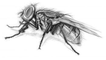 Zoom sur l'anatomie d'une mouche