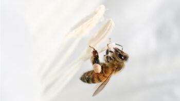 Toutes les abeilles domestiques n'ont pas la chance de s'accoupler. Seules les reines ont ce privilège.