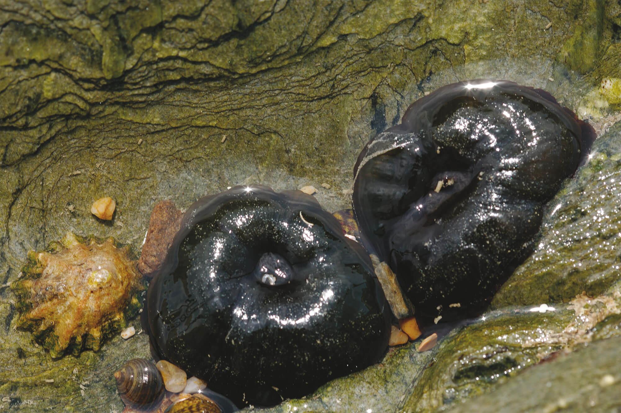6 techniques de survie des animaux et plantes du bord de mer - anémone