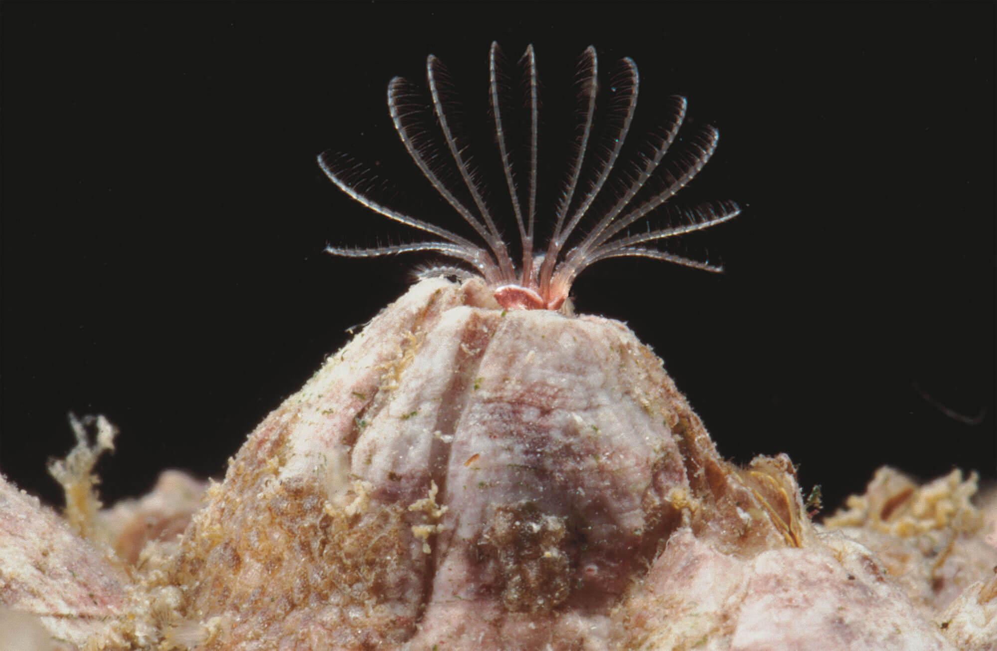 6 techniques de survie des animaux et plantes du bord de mer- balane