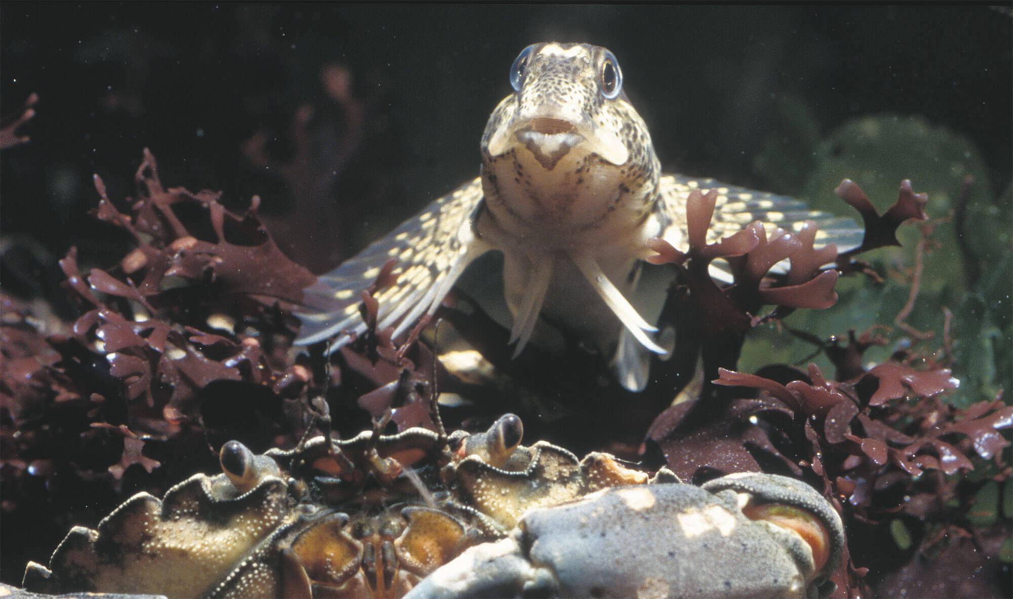 6 techniques de survie des animaux et plantes du bord de mer - blennie