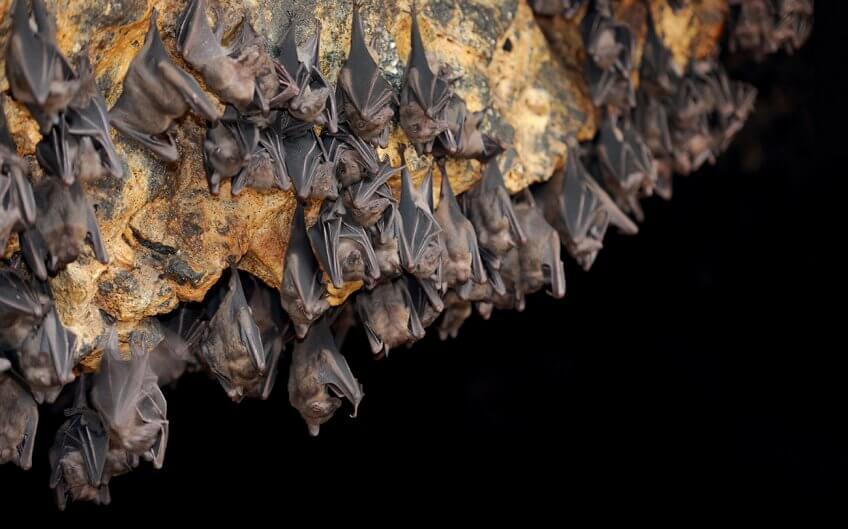 Groupe de chauve-souris dans une caverne
