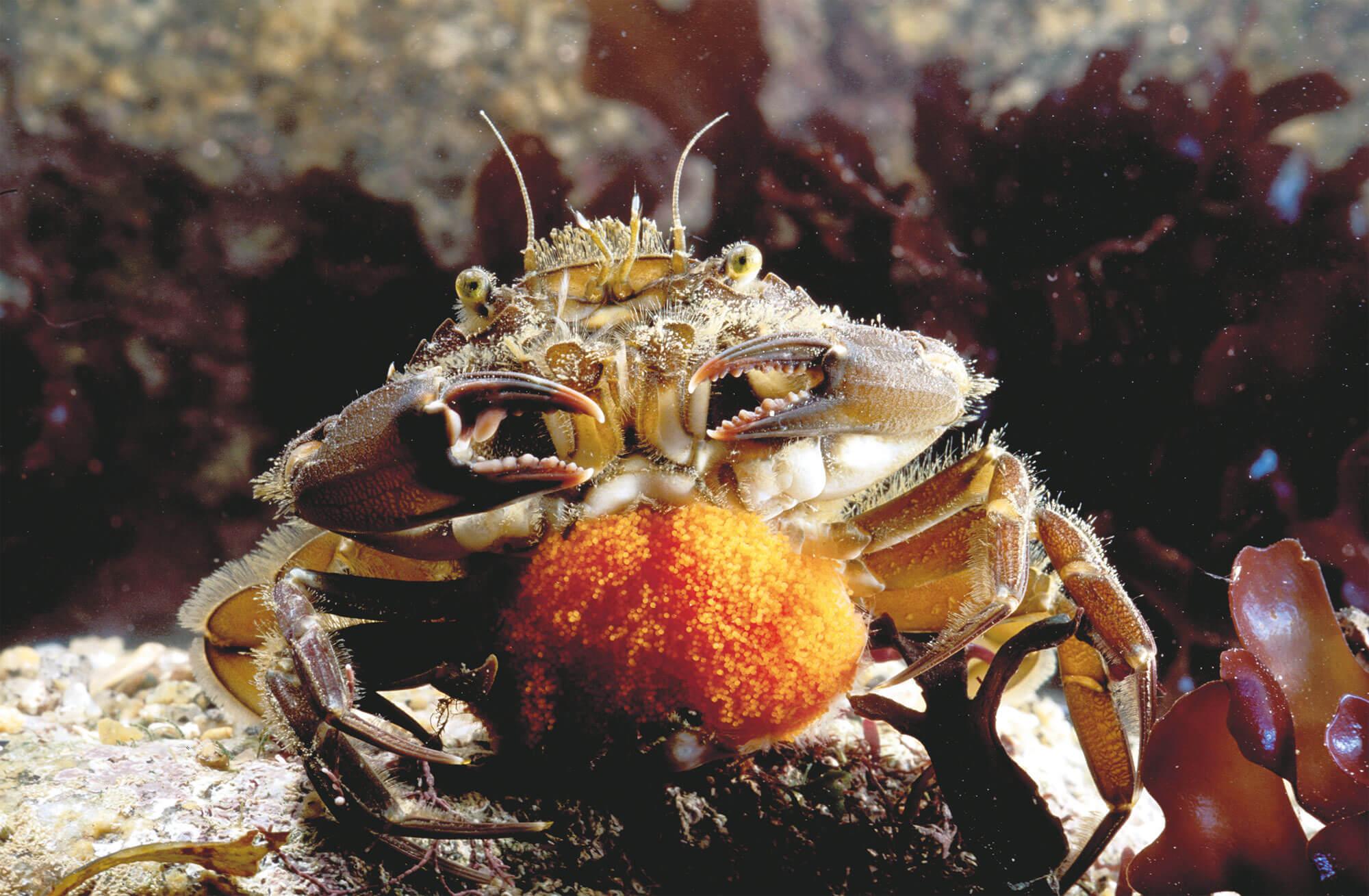 6 techniques de survie des animaux et plantes du bord de mer - anémone rouge