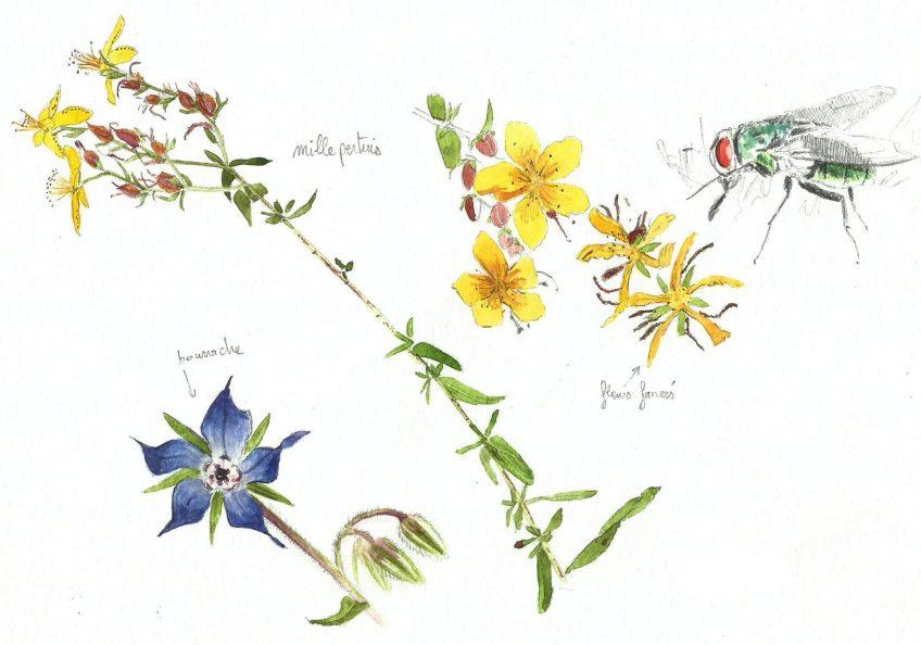 Millepertuis mille vertus - La Salamandre
