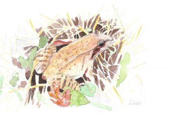 dessin-#32-grenouille