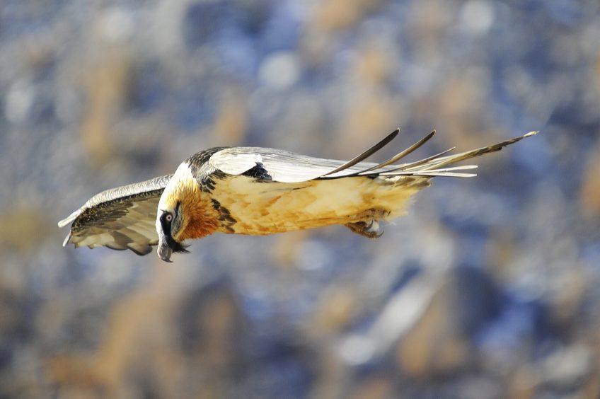Un record d'envol de jeunes gypaètes en Valais - La Salamandre