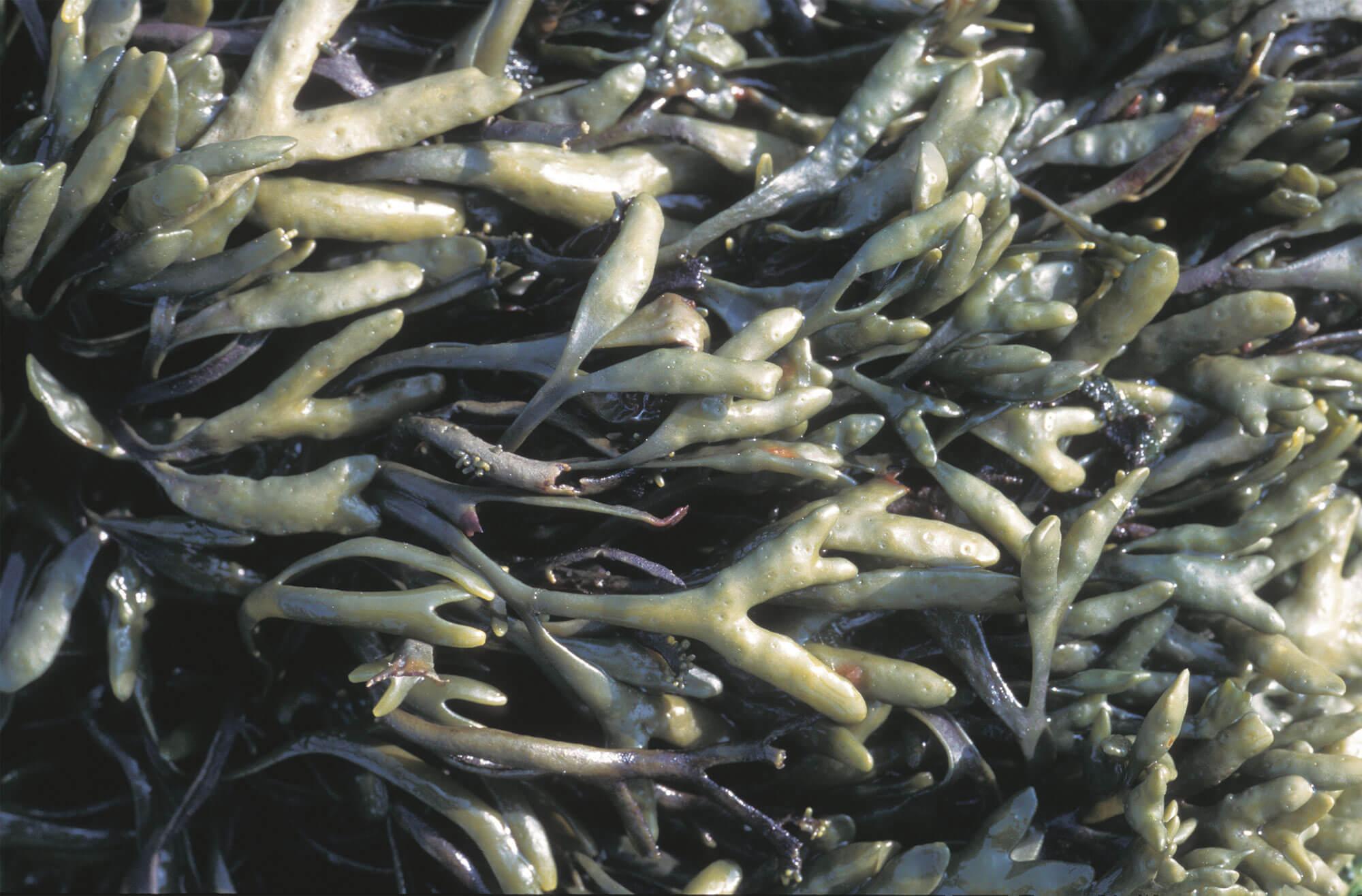 6 techniques de survie des animaux et plantes du bord de mer - algues