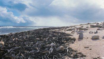 Les algues brunes échouées en paquets…