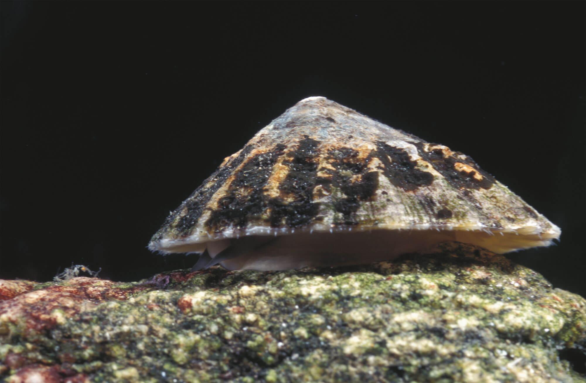 6 techniques de survie des animaux et plantes du bord de mer - patelle