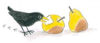 Un merle mangeant une pomme