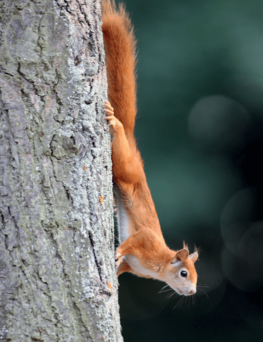 Photo d'un écureuil roux