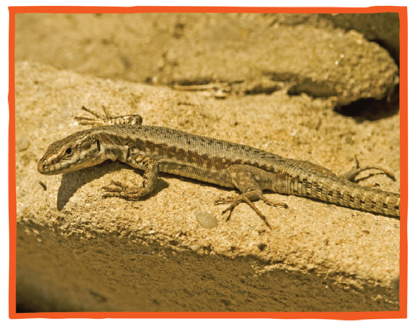 Photo d'un lézard commun prenant le soleil sur un rocher