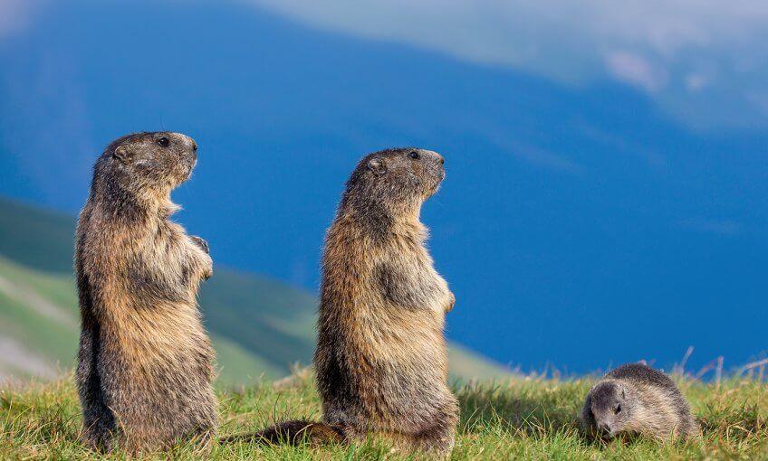 Trois marmottes dans les Alpes