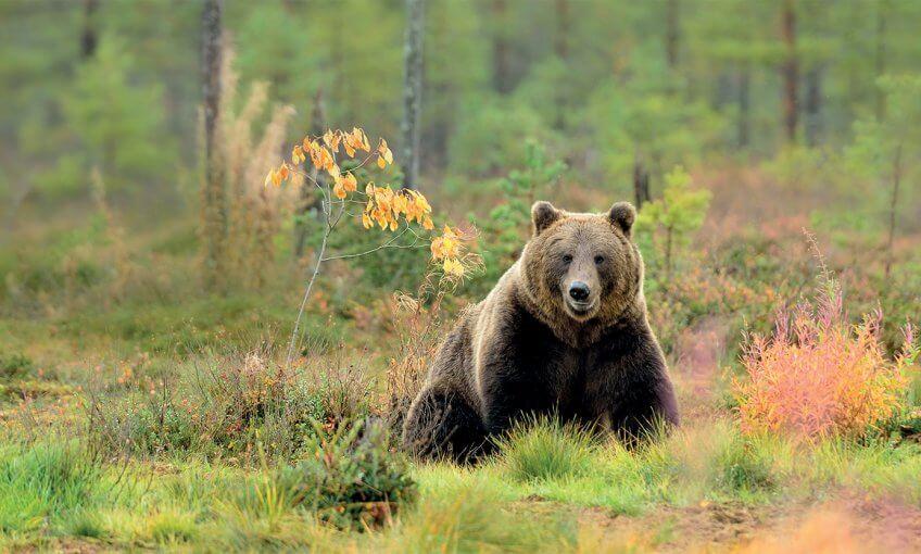 Ours brun dans la forêt