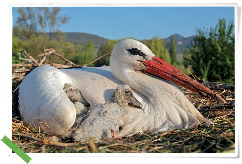 Cigogne blanche au nid avec des jeunes