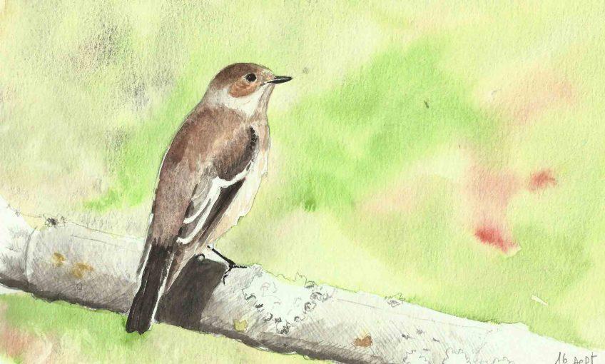 Gobemouche noir, l'oiseau qui traverse le Sahara