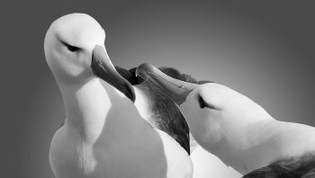 Couple d'albatros
