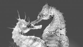 Couple d'hippocampes