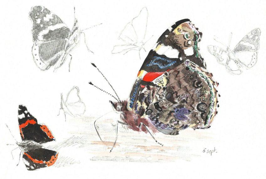 Les dessous chics du papilllon vulcain Vanessa atalanta - La Salamandre